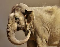 Asian elephant sand bath by past-presence-art
