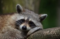 Raccoon relaxing by past-presence-art
