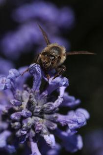 Bienen-Center Lavendel von Chris Berger
