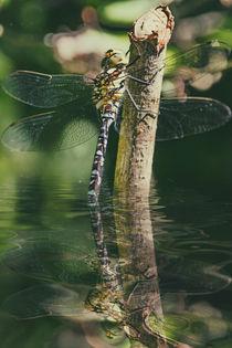 Elfenspiegel - Mosaikjungfer by Chris Berger