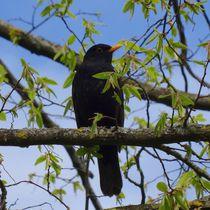 Amsel im Baum von kattobello