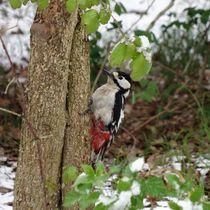 Buntspecht im Winter by kattobello