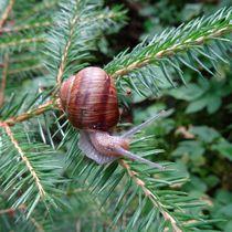 Weinbergschnecke im Tannengrün by kattobello