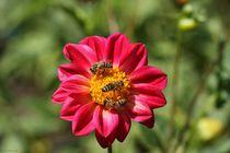 Dahlie mit Bienen; 17.08.2017 by Anja  Bagunk