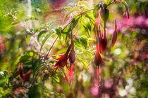 Gartenfuchsie - Fuchsia magellanica by Nicc Koch