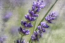 Duftende Lavendelblüten von Nicc Koch