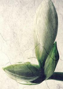 Knospe der Amaryllis by Renate Grobelny