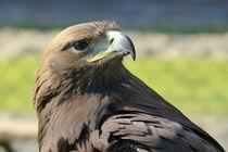 Adler-1 von maja-310