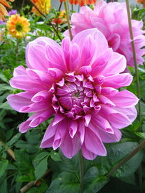 rosa-pink farbige Dahlie by assy