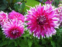 pink Dahlien von assy