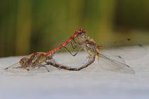 Libellenpaarung von Bernhard Kaiser