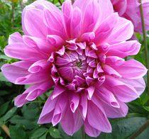 große schöne Dahlienblüte by assy