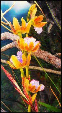 Orquídea selvagem  by Fabio Da silva