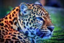 Leopard von kattobello