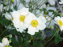 Anemone japonica by Jens Uhlenbusch