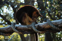 Tree Kangaroo by Tuval Rabina