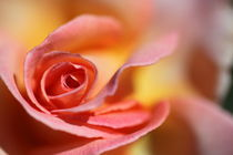 Rose by Roland Spiegler