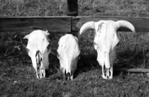 3 unlucky cows von Julian Raphael Prante
