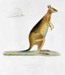 Kangaroo by Pancrace Bessa