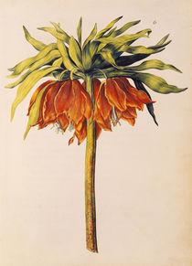 Crown Imperial Lily or Fritillary by Nicolas Robert
