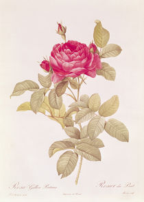 Rosa Gallica Pontiana by Pierre Joseph Redoute