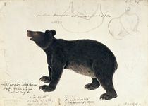 Drawing of an Asiatic Black Bear by Anonymous