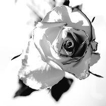 rose von gudrun  petersen