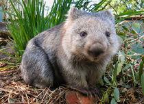 Wombat, Australia von Tom Dempsey