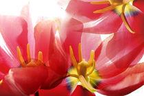 Tulips by Elena Kulikova