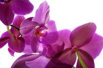 Orchids von Elena Kulikova