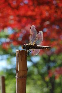 dragonfly by Zuzanna Nasidlak