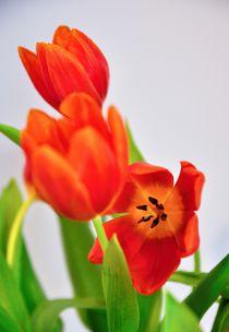 Tulpengruß von Christian Stein