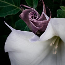 Datura  by David Pinzer