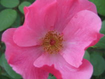 pink flower by Jessica McClanahan
