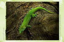 Gecko by Guido-Roberto Battistella