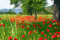 Poppy fields  for ever...spring time by Tamàs Ibiza