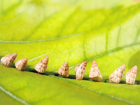 Baby-garden-snail-on-row