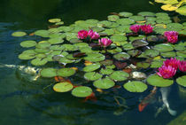 Lily pads and Koi by bob bingenheimer