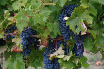 Purple grapes on the vine at a winery in Gaillac, France by bob bingenheimer
