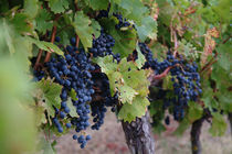 Purple grapes on the vine in Gaillac, France by bob bingenheimer