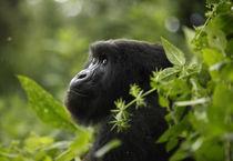 Mountain Gorilla, Rwanda von Brent Foster