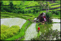 Rice fields in ubud area by Arnold Jerocki