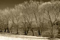 willows by Jacek Maczka