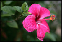 Hibiscus flower by Arnold Jerocki