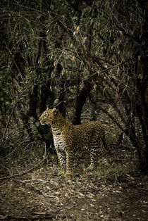 Female African Leopard by Russell Bevan Photography