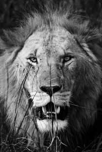 Male Lion Close up Portrait von Russell Bevan Photography