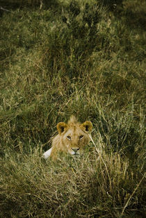 Young Male Lion von Russell Bevan Photography