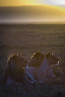 Young Lions at Sunrise by Russell Bevan Photography