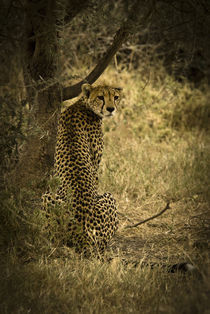 Lone Cheetah by Russell Bevan Photography
