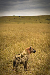 Lone Spotted Hyena by Russell Bevan Photography